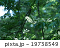 犬桜イヌザクラ シロザクラとも呼ばれています。 19738549