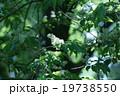 犬桜イヌザクラ シロザクラとも呼ばれています。 19738550