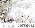 さくら サクラ 桜の写真 19756448