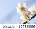 さくら サクラ 桜の写真 19756666