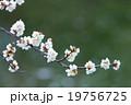さくら サクラ 桜の写真 19756725
