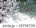 さくら サクラ 桜の写真 19756726