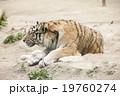 タイガー トラ 虎の写真 19760274