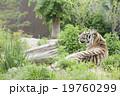 タイガー トラ 虎の写真 19760299