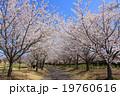 桜 ソメイヨシノ 咲くの写真 19760616