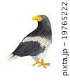 北海道 動物シリーズ オオワシ 19765222