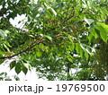 桜の実 19769500