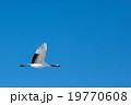 青空のタンチョウ 19770608
