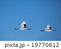 2羽のタンチョウ 19770612