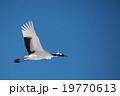 丹頂飛翔 19770613