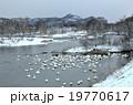 鳥 白鳥 鶯野の写真 19770617