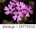 芝桜 花 花詰草の写真 19773010
