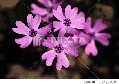 芝桜の小さな花 19773010