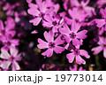 芝桜 花 ハナシノブ科の写真 19773014
