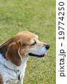 ビーグル犬 19774250