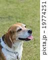 ビーグル犬 19774251