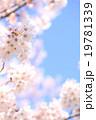 桜木・青空タテ・右スペ01 19781339
