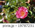 山茶花 19787231