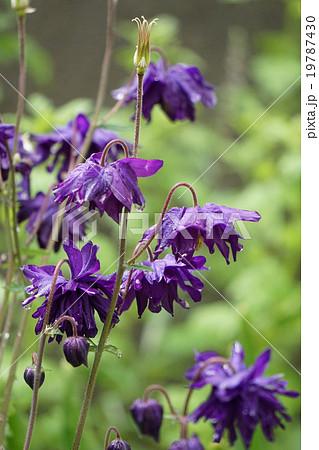 濃い紫の西洋オダマキ 19787430