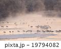 音羽橋タンチョウ 19794082