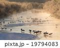 音羽橋タンチョウ 19794083