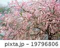 梅 紅梅 メジロの写真 19796806