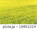 菜の花畑(バックグラウンド) 19801224