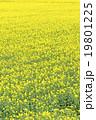 菜の花畑(バックグラウンド) 19801225