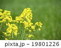 菜の花 19801226