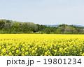 菜の花畑 19801234