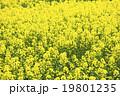 菜の花畑(バックグラウンド) 19801235
