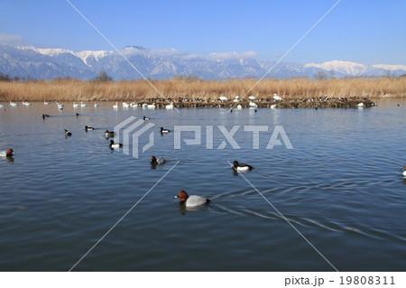 冬の安曇野 水鳥のいる風景 19808311