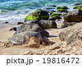 giant green sea turtle at Laniakea beach, Hawaii 19816472