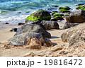 giant green sea turtle at Laniakea beach, Hawaii 19816472
