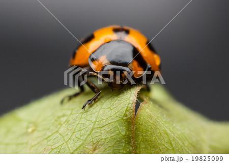 Ladybug closeup.