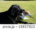 犬 ペット ジャックラッセルテリアの写真 19837822