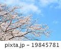 桜 19845781