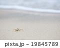 浜辺のカニさん 19845789