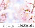 桜(ふんわり) 19850161