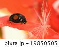 ゼラニウム 昆虫 てんとう虫の写真 19850505
