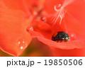 ゼラニウム 昆虫 てんとう虫の写真 19850506