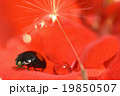 ゼラニウム 昆虫 てんとう虫の写真 19850507