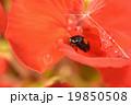 ゼラニウム 昆虫 てんとう虫の写真 19850508