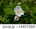 花 ハマナス 落葉低木の写真 19853368