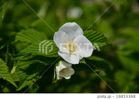 白いハマナスの花 19853368