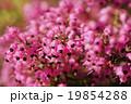 ジャノメエリカ エリカ 花の写真 19854288