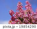 ジャノメエリカ エリカ 花の写真 19854290