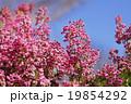 ジャノメエリカ エリカ 花の写真 19854292