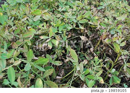 落花生の葉っぱ 19859105
