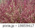 キラメク公園の植物 19859417